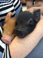 Gorgeous, healthy piglets for sale