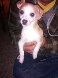 2 male Chihuahua puppies for sale