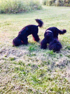 Poodle | Adopt Dogs & Puppies Locally in Alberta | Kijiji