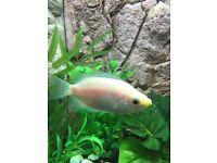 Kissing gourami fish aquarium