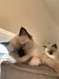 Full Ragdoll Kitten Male (Sold)