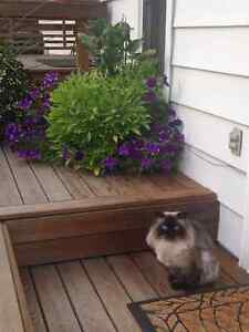 himalayan male cat for rehoming