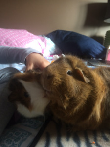 Guinea Pigs with cage and supplies-- free to a good home