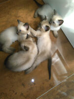 BEAUTIFUL SIAMESE KITTENS......