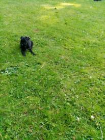 Patterpug puppies