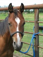 Yearling AQHA Bay Gelding For Sale