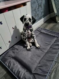Beautiful dwkc dalmatian puppy girl forsale