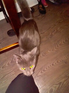 Free to good home 1 year old female cat very calm
