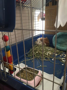 Free guinea pig - 4 months old, Vancouver