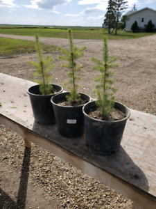 White spruce trees FREE DELIVERY AND PLANTING
