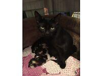 Kittens for sale (2 polydactyl kittens in the litter)
