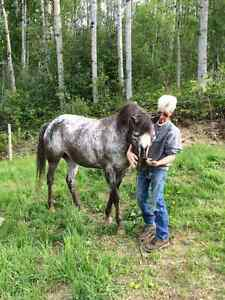 8 yr old registered Appaloosa mare