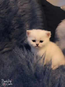 British shorthair kitten in Silver Shaded colour (TICA register)
