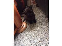 3 beautiful male black kittens for sale