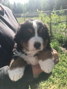 Bernese Mountain Dog Puppies looking for great new homes!