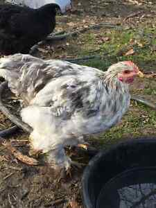 Cochin Rooster London Ontario image 1