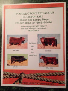 Poplar Grove Red Angus
