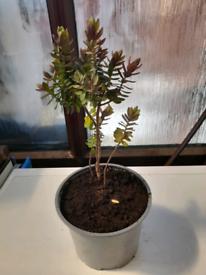 Hebe plant