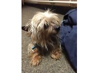 Mini male Yorkshire terrier