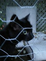 I FOUND A LOST ALL BLACK CAT IN PAISLEY/BAGOT AREA GUELPH