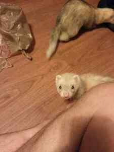 Two Male Marshall Ferrets