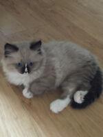 Adorable Purebred Ragdoll Kitten for Sale