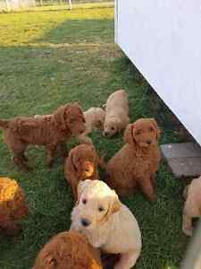 Red Standard Poodles and Golden Doodles
