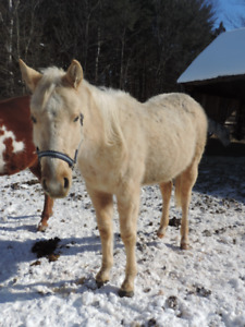 Quarter horse Palomino Filly 2years old