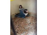 Pair of Bule marked lovebird for sale