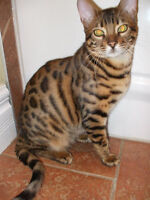 Master male Bengal Breeding and Showing
