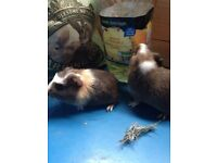 Baby Guinea pigs ready now!!!!