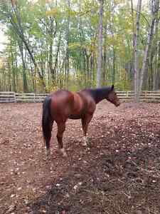 5 Year Old Gelding.  Best Offer.  Must Go A.S.A.P. Sarnia Sarnia Area image 3