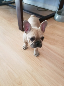 Pure breed French bulldog puppy for sale