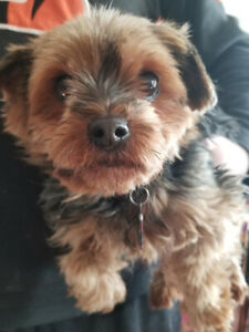Purebred CKC registered female adult Yorkie looking for new home