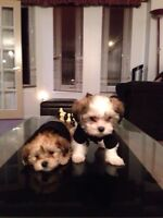 Toy Shorkie Tzu puppies for sale