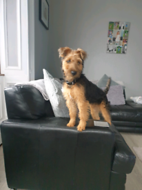 NOW SOLD- PENDING COLLECTION Lakeland terrier 7 months old male