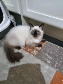 Pure Ragdoll female kitten