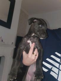 Bull wheaton greyhound puppy