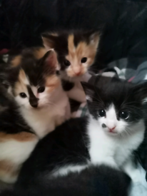 Tortoise shell and tuxedo kittens looking for forever loving home!