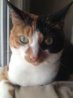 3 year old Female Calico- Kitty
