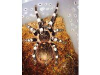 Tarantula Acanthoscurria geniculata