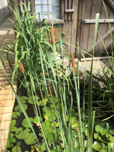 Pond Cattails