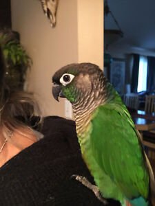 pineapple green cheek conure Bird lost in forest glade area