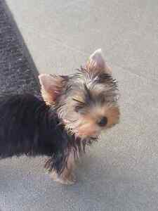 "CKC Registered Yorkshire Terrier ""SOLD"""