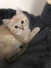 5 Beautiful Ragdoll Kittens