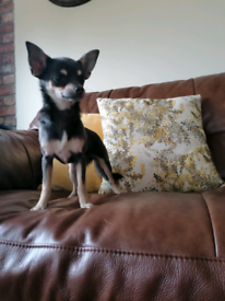 Rehoming blue & tan chihuahua