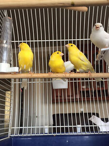 ~Major Sale! Beautifully singing young German Roller Canary~ Downtown-West End Greater Vancouver Area image 2