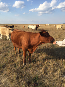 RED ANGUS FOR SALE