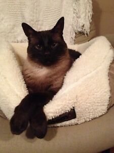 FREE Sealpoint Siamese Cat APPROX 11-12yrs old