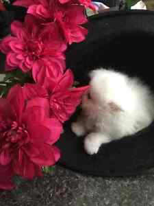 Persian Kittens Available London Ontario image 1